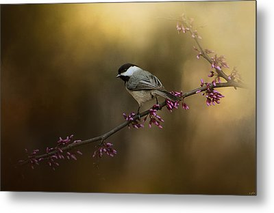 Chickadee In The Golden Light Metal Print by Jai Johnson
