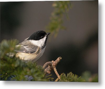 Metal Print featuring the photograph Chickadee In The Shadows by Susan Capuano