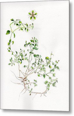 Chickweed Herb Metal Print