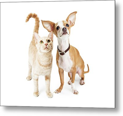 Chihuahua Dog And Young Orange Tabby Cat Metal Print