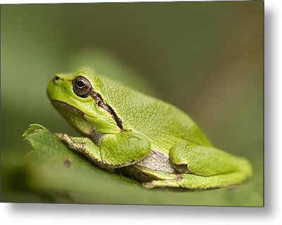 Chilling Tree Frog Metal Print