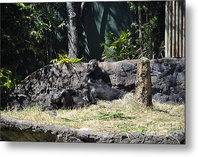 Metal Print featuring the photograph Chimps At Rest by John Black