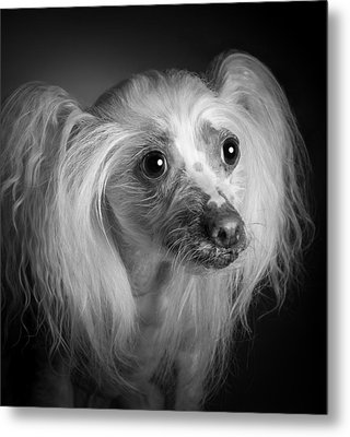 Chinese Crested - 04 Metal Print