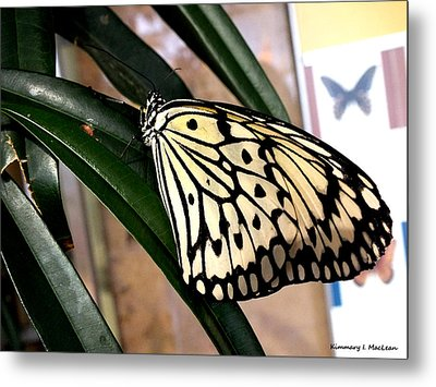 Chinese Yellow Swallowtail Metal Print