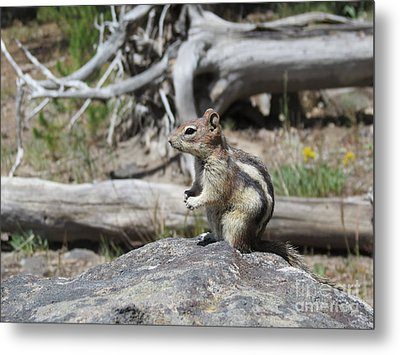 Chipmunk At Yellowstone Metal Print by Ausra Huntington nee Paulauskaite