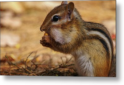 Metal Print featuring the photograph Chipmunk Eating Corn by Bob Orsillo