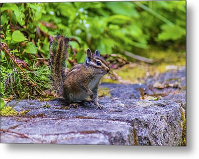 Metal Print featuring the photograph Chipmunk by Jonny D