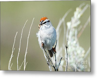 Metal Print featuring the photograph Chipping Sparrow by Mike Dawson