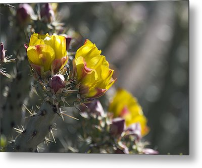Cholla Blooms Metal Print