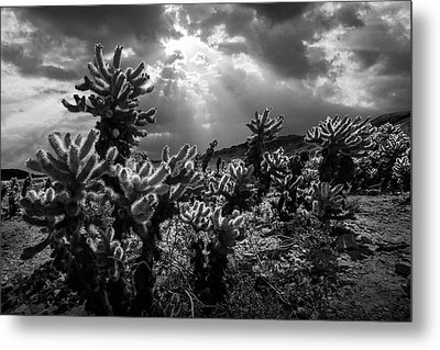 Metal Print featuring the photograph Cholla Cactus Garden Bathed In Sunlight In Black And White by Randall Nyhof