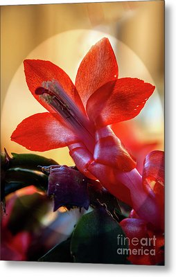 Christmas Cactus Flower Metal Print