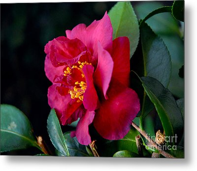 Metal Print featuring the photograph Christmas Camellia by Marie Hicks