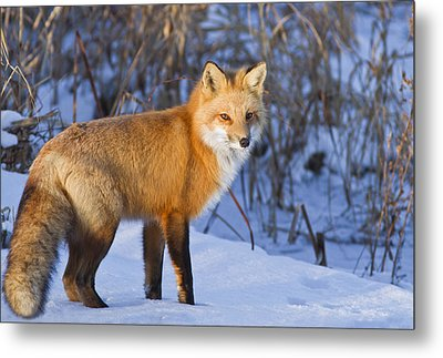 Christmas Fox Metal Print