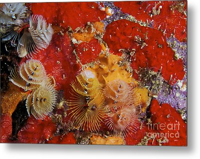 Christmas Tree Worms, Bonaire Metal Print by Terry Moore