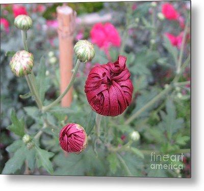 Chrysanthemum 21 Metal Print