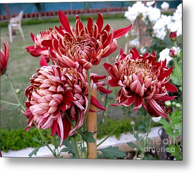 Chrysanthemum 4 Metal Print