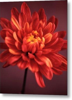 Chrysanthemum 7 Metal Print by Joseph Gerges