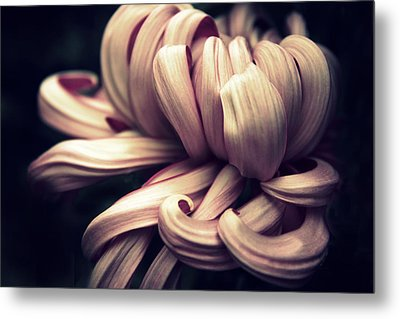 Chrysanthemum Curls Metal Print by Jessica Jenney