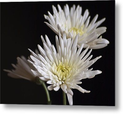 Chrysanthemums Metal Print by Svetlana Sewell