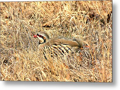 Metal Print featuring the photograph Chuckar Bird Hiding In Grass by Sheila Brown