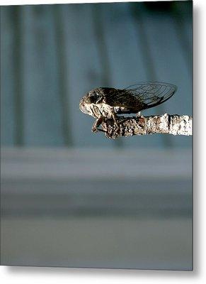 Cicada Metal Print by Cathy Harper
