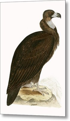 Cinereous Vulture Metal Print by English School