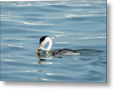 Metal Print featuring the photograph Clarks Grebe by Everet Regal