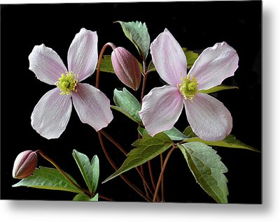Metal Print featuring the photograph Clematis Montana Rubens by Terence Davis