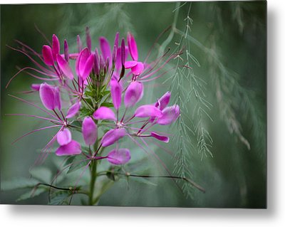 Metal Print featuring the photograph Cleome by Jane Melgaard