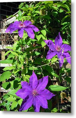 Metal Print featuring the photograph Climbing Clematis by Susan Carella