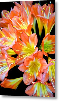 Clivia Miniata. Orange Flowered Form. Metal Print by Andy Za