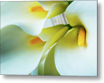 Close Up Calla Lilies Metal Print by Garry Gay