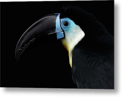 Close-up Channel-billed Toucan, Ramphastos Vitellinus, Isolated On Black Metal Print