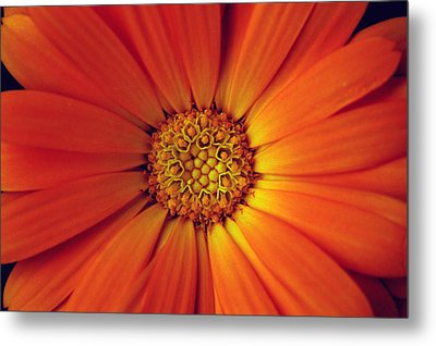 Close Up Of An Orange Daisy Metal Print by Ralph A  Ledergerber-Photography