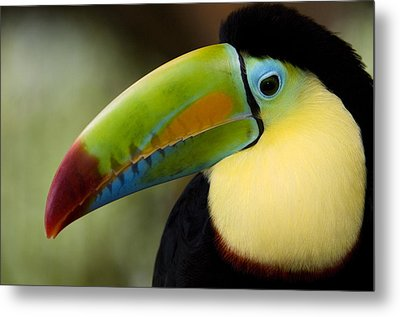 Close-up Of Keel-billed Toucan Metal Print by Panoramic Images
