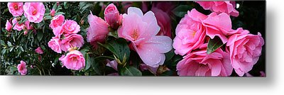 Close-up Of Pink Camellia Flowers Metal Print by Panoramic Images