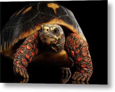 Close-up Of Red-footed Tortoises, Chelonoidis Carbonaria, Isolated Black Background Metal Print by Sergey Taran
