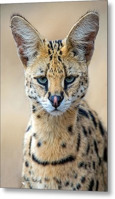 Close-up Of Serval Leptailurus Serval Metal Print
