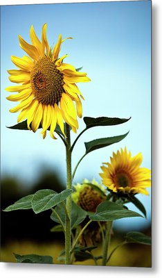 Close Up Of Sunflowers Metal Print by Philippe Doucet