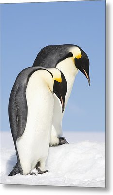 Close Up Of Two Adult Emperor Penguins Metal Print by Daisy Gilardini