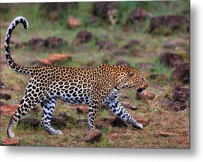 Close Up Of Walking Leopard Female Siri In Masai Mara, Kenya Metal Print by Maggy Meyer