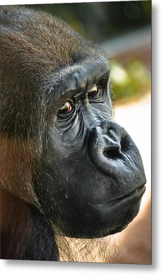 Close Up Portrait Of Gorilla Metal Print