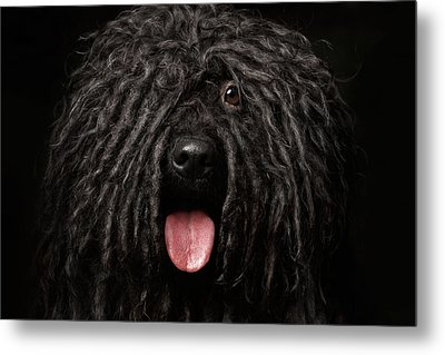 Close Up Portrait Of Puli Dog Isolated On Black Metal Print