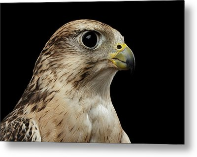 Close-up Saker Falcon, Falco Cherrug, Isolated On Black Background Metal Print