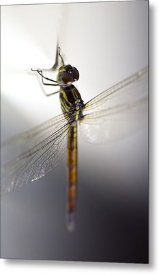 Close Up Shoot Of A Anisoptera Dragonfly Metal Print by Ulrich Schade