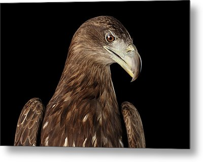 Close-up White-tailed Eagle, Birds Of Prey Isolated On Black Bac Metal Print