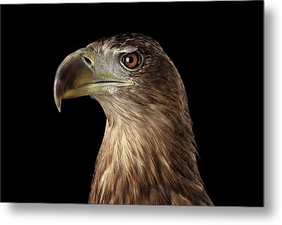 Close-up White-tailed Eagle, Birds Of Prey Isolated On Black Background Metal Print by Sergey Taran