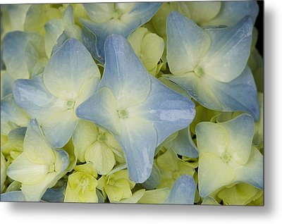 Close View Of Hydrangea Flower Metal Print by Todd Gipstein