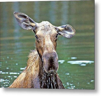 Close Wet Moose Metal Print
