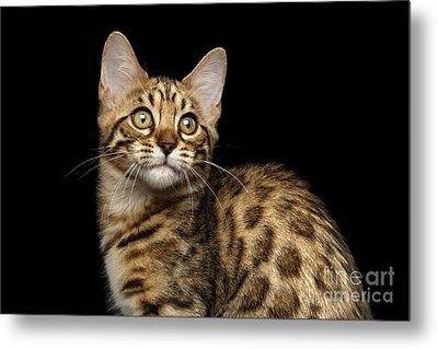 Closeup Bengal Kitty On Isolated Black Background Metal Print by Sergey Taran